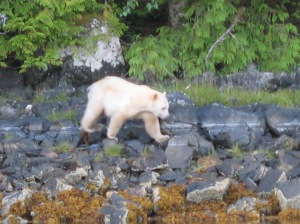 A rare sighting of a Kermode bear. The first nations people refer to them as Spirit Bears. We considered this a lucky sign on our anniversary!