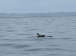 A seal relaxing on a log floating in the calm waters of Loredo Sound.